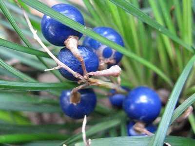 什么是植物的种子 金刚菩提是什么植物的种子